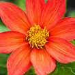 Red Cosmos Flower. — Stock Photo