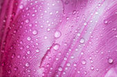 Water drop on petals. — 图库照片