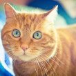 Lovely red cat. — Stock Photo #30857359