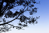 Tree branches silhouettes. — Stock Photo