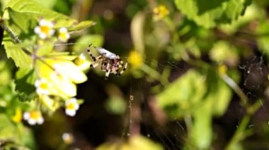 Spider (Araneus). — Stok video