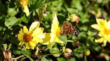 Monarch motýl. — Stock video