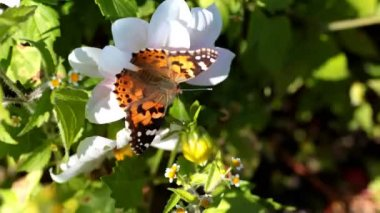 Monarch Butterfly. — Stock Video