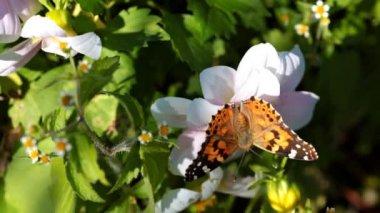 Farfalla monarca. — Video Stock