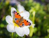 European Peacock butterfly. — Stock Photo