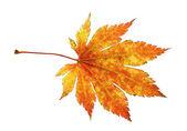 Orange maple leaf. — Stock Photo