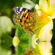 Monarch Butterfly feeding on yellow flower. — Stock Photo