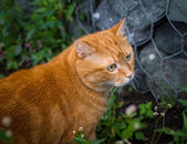 Red cat. — Stock Photo