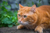 Red cat. — Stock Photo