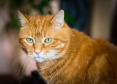 Lovely red cat. — Stock Photo