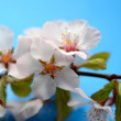 Cherry blossom flowers. — Stock Video