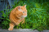 Cat sneaking through the grass. — Stock Photo