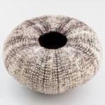 Sea urchin shell. — Stock Photo