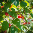 Ripe red cherries on a tree branch. — Stock Photo #49622211