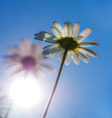 Chamomile with sunshine. — Stock Photo