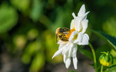 A bumble bee feeds on white flower. — Stock Photo