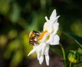 A bumble bee feeds on flower. — Stock Photo