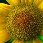 Sunflower сlose-up. — Stock Photo #51378151