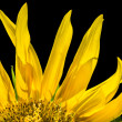 Sunflower close-up. — Stock Photo #51644177