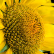 Sunflower close-up. — Stock Photo #51644213