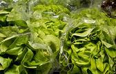 Green Oak Lettuce — Stock Photo