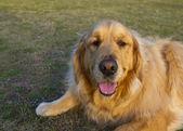 Golden Retriever Breed dog — Stock Photo