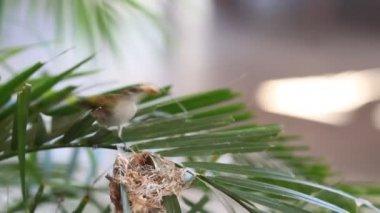 Video of Humming bird making nest — Stock Video