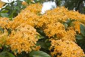 Yellowish Ixora beautiful flower — Stock Photo