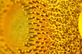 Beautiful sunflower closeup — Stock Photo