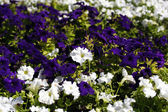 Background of white and purple flowers — Stock Photo