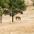 Stock Photo: Young horse eating grass