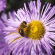 Bee on a purple flower — Stock Photo