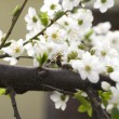 Cherry flower — Stock Photo