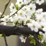 Cherry flower — Stock Photo #13393498