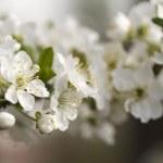 Cherry flower — Stock Photo #13393508