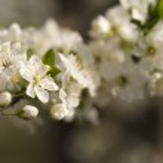 Cherry flower — Stock Photo #13393515
