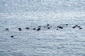 Ducks in the sea — Stock Photo