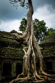 Tree of Ta Prohm, Angkor Wat — Fotografia Stock