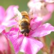 Wasp bee on the flower — Stock Photo #12621147