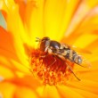 Wasp bee on the flower — Stock Photo #12621153