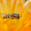Wasp bee on the flower — Stock Photo