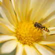 Wasp bee on the flower — Stock Photo #12621158