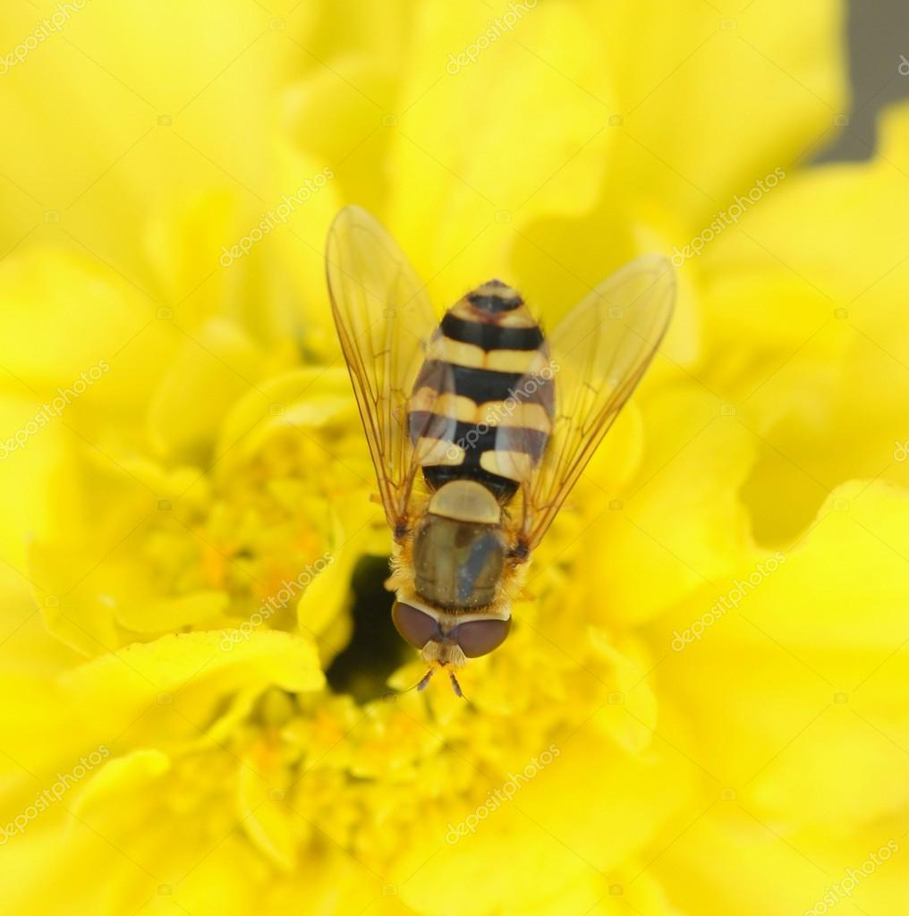 Wasp bee on the  flower — Stock Photo #12621149