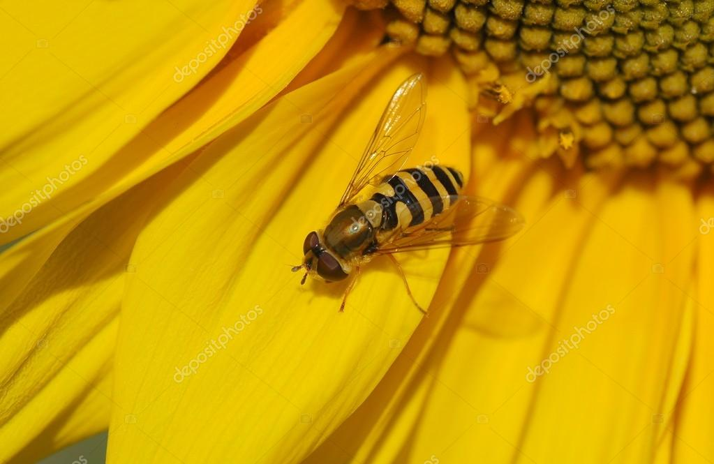 Wasp bee on the  sunflower — Stock Photo #12621150