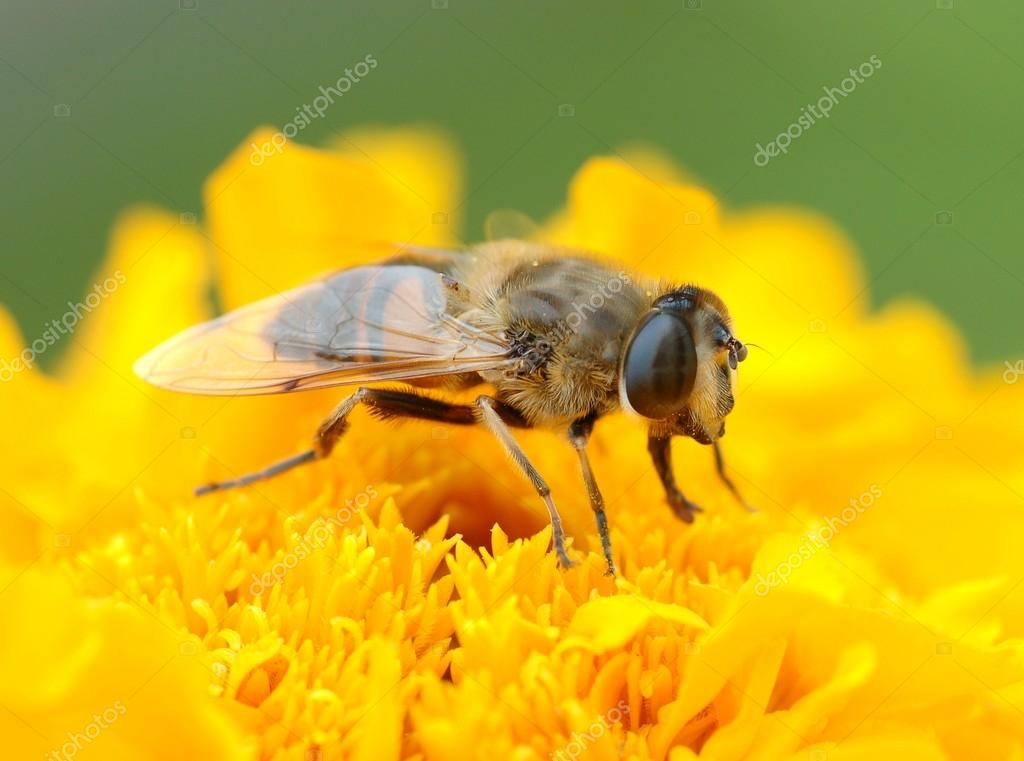 Wasp bee on the  flower — Stock Photo #12621151
