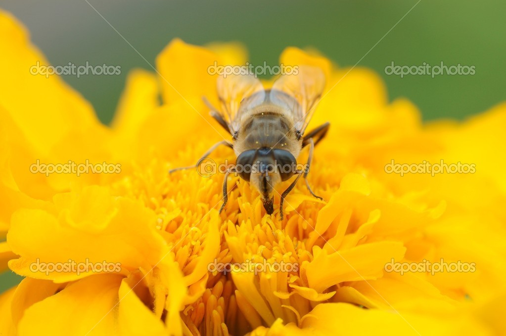 Wasp bee on the  flower — Stock Photo #12621152