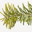 Pine branch — Stock Photo #12831627