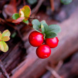 Stock Photo: Red bilberry