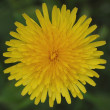 Dandelion — Stock Photo #12832505