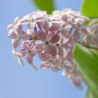 Branch of lilac flowers with the leaves — Stock Photo